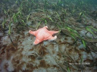 Starfish on Sea Floor - Red Spiny Star