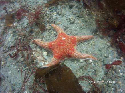 Starfish on Sea Floor - Leather Star