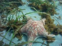 Starfish on Sea Floor - Leather Star